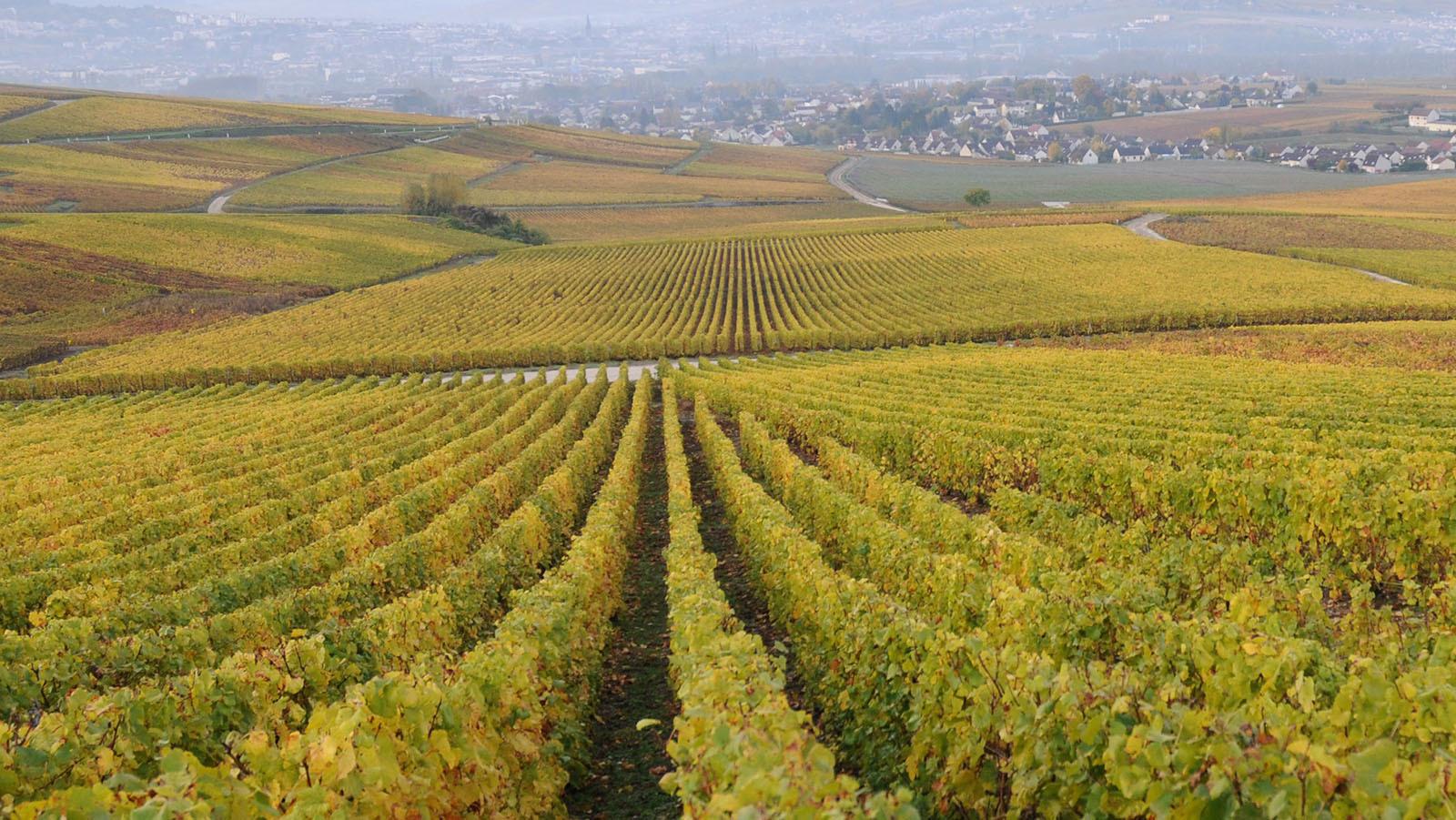 Bilde fra vingården Champagne Palmer